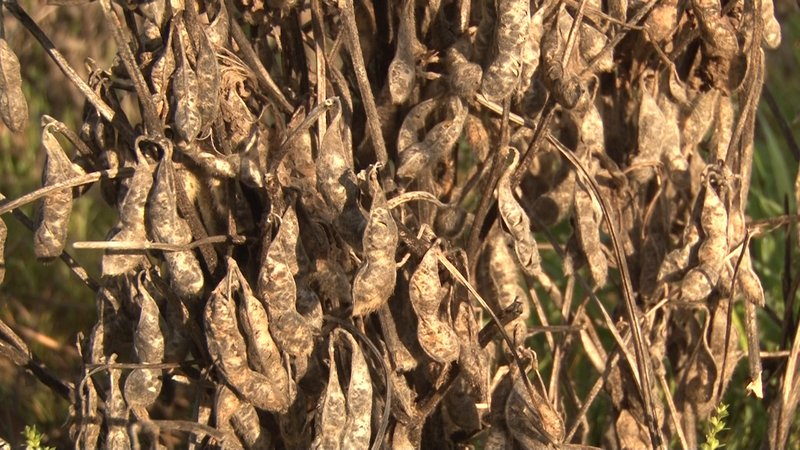 Dead soybean plants in the fields that haven't grown back since the thousand year flood.