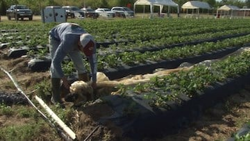 Farmers must lay out tarps to cover their plants during a frost advisory. They are held down by rocks.