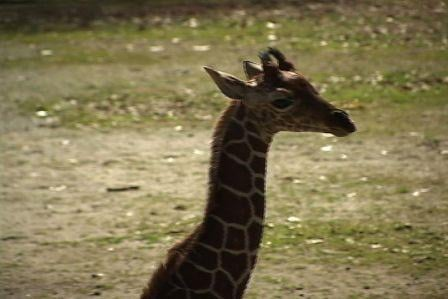 The new baby giraffe hangs out in the public exhibit at Riverbanks.