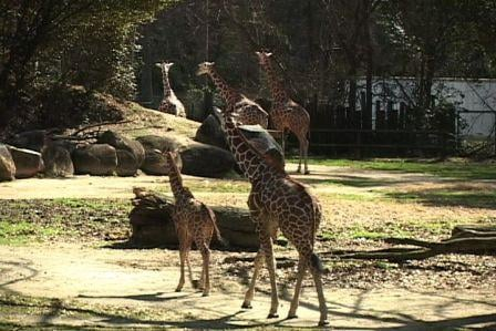The giraffe at Riverbanks wander around the public exhibit, staying close to one another.