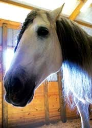 Sharon Knight of Noble Horse Farms said Andalusians, such as this 9-year-old Stallion named Hielo, usually sell for around $30,000, but in this poor economy they often sell for as low as $5,000.