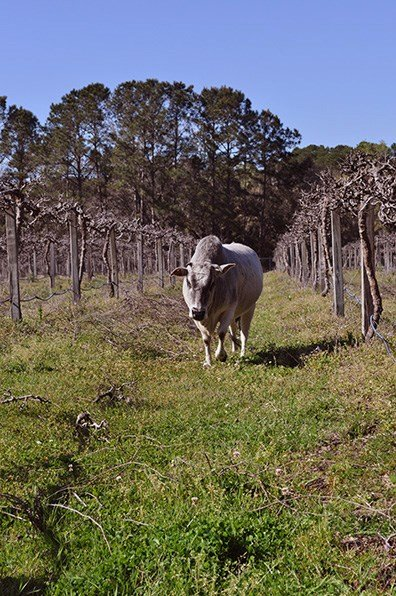 Ida Claire is a friendly cow at Deep Water Vineyard who lives among the vines. She spends her days grazing and munching on pruned canes that lie on the ground.