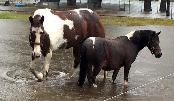 Many farm animals throughout the area had to be rescued by helicopters and boats. Joey Mincey was able to get his horses, pictured here, to safety.