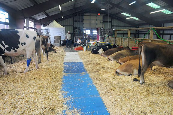Tim Tinsley from Clemson, SC, helps care for the 12 cows that he brought for his children to show in competition.