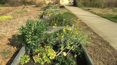 Individual garden plots tended by students.