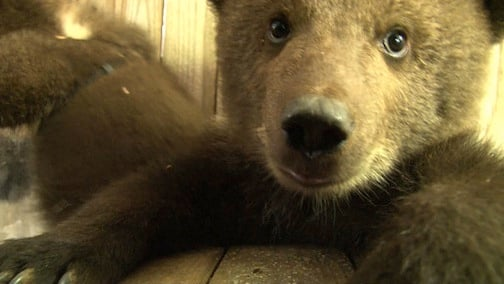 Bear cub caught being curious while she was playing with her sisters