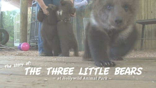 12 week old rare triplet bear cubs. The bears have been named Amalia Nur, Malica Ishtar, and Samra May in honor of their Syrian heritage.