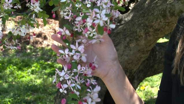 Flowering trees such as this do not cause most allergies, but rather non-flowering plants and trees.