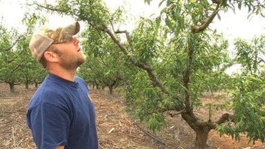 Clark Forrest looks at peaches growing in his orchard
