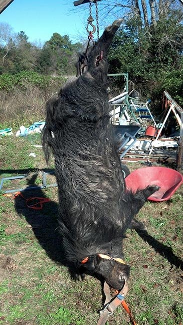 Poseskie spent five months tracking down this 500-pound beast after he spotted its enormous track, about five times bigger than a normal hog, in the mud. Photo courtesy of Phillip Poseskie.