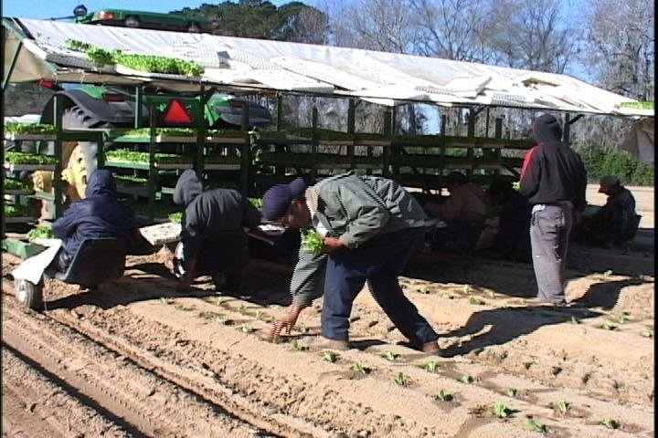 Workers at Coosaw Farms in Fairfax, SC, plant Cabbages.