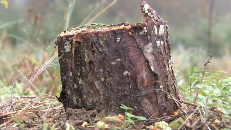 Cutting down Christmas trees allows the farm to replant and promote a sustainable farm.